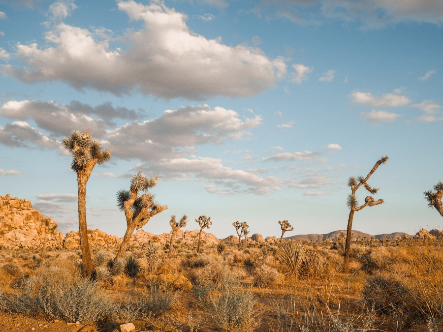 Joshua Tree american road trip